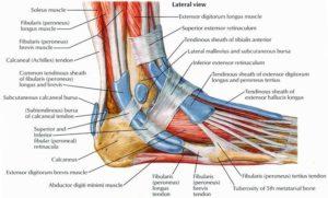 diagram of foot muscles and tendons diagram aslar free